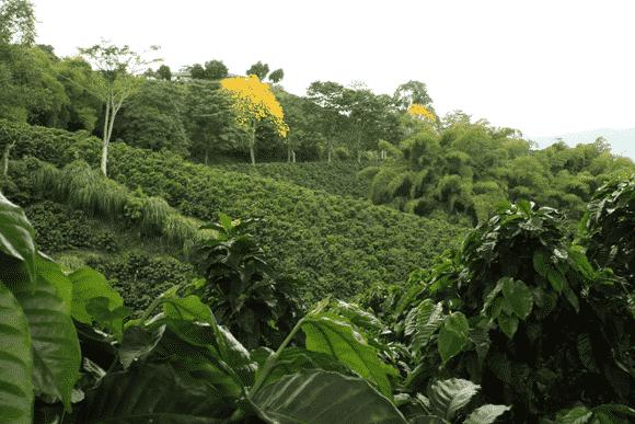 Paisaje cultural cafetero y Guayacan