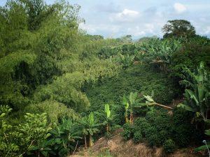 cultivos del paisaje cultural cafetero