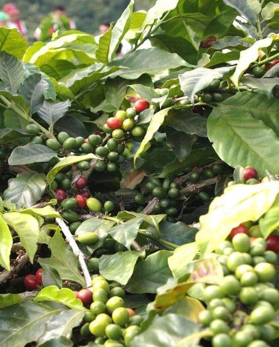 Planta de cafe en descubre el paisaje cultural cafetero