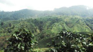 Cafetal en Pijao - Quindío