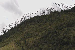 La palma de cera del Valle de Cocora. Salento