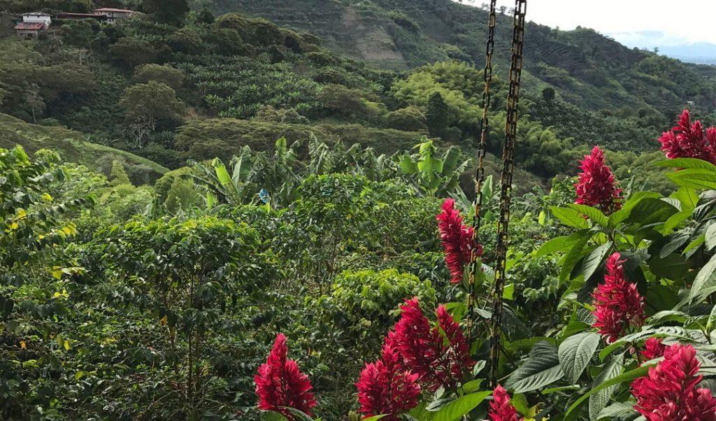 paisaje de cafetales y heliconias en eleje cafetero- Pijao - Quindío